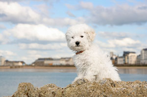 A snapping bichon