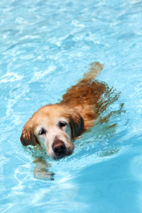 Dog swimming in a swimming pool.