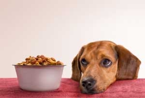 Dog waiting for kibble