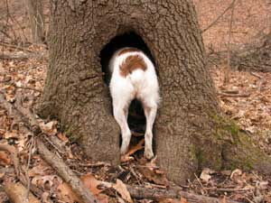Dog Hunting In Tree stump