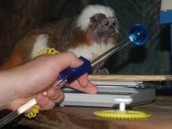 Cotton-top tamarin offering movement toward scale