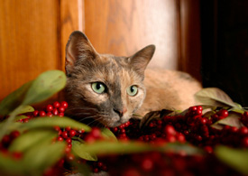 cat in holly
