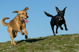 happy_dogs_running