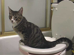 kitty on toilet