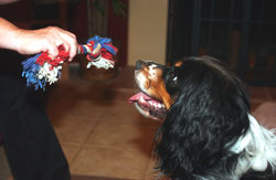 Show your dog the tug toy and click as he looks at the toy.